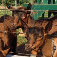 ft.goats