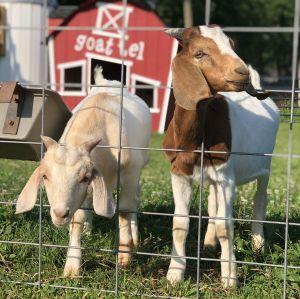 Goats300x300