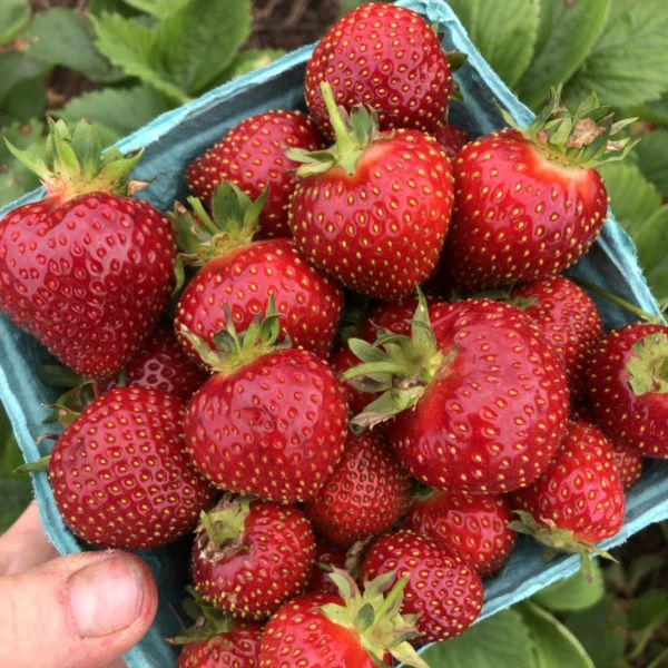 STRAWBERRY PATCH: Late May - Mid June